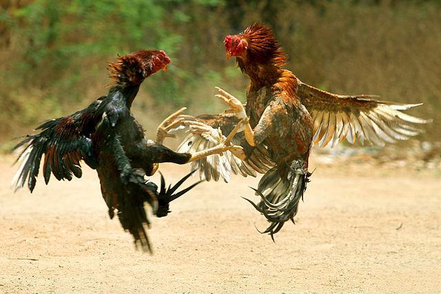640px-COCK_FIGHT
